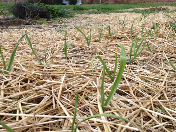 Growing-Great-Garlic