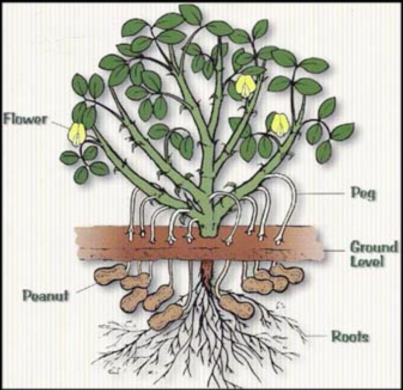 once seedlings have doubled in size the plant sends out pegs that penetrate  the soil, this is where the peanut forms