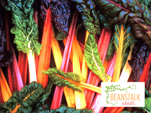 Swiss-Chard-Bright-LIghts