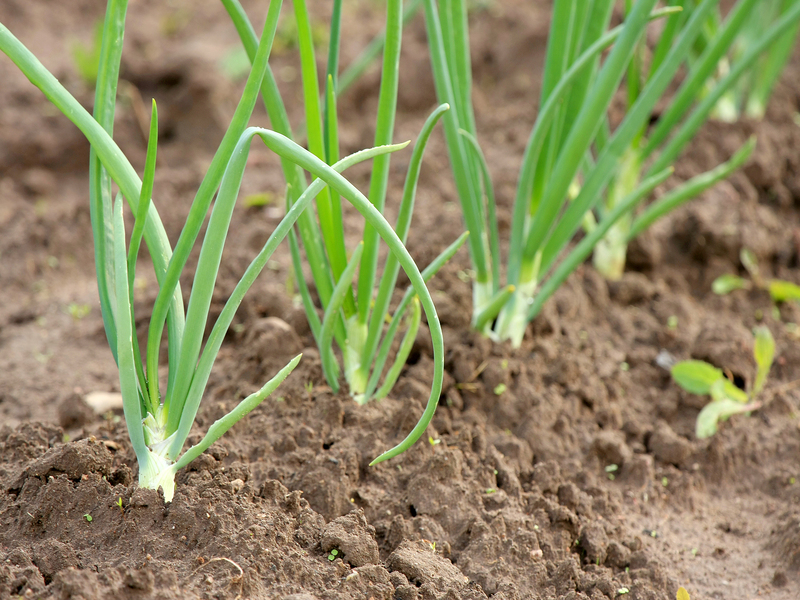 Onion_Plants_800x600
