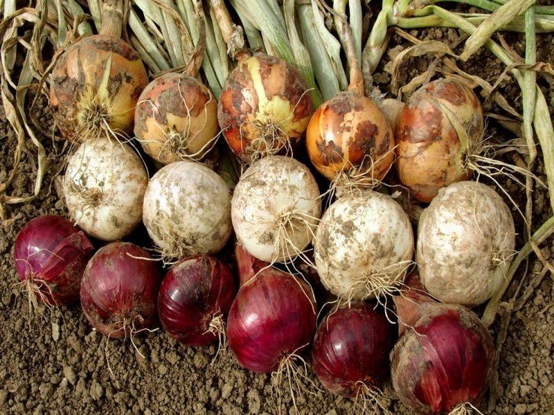 Onion_variety_800x600