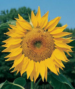 giant-sunflower