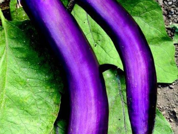 Ping-Tong-Long-Eggplant