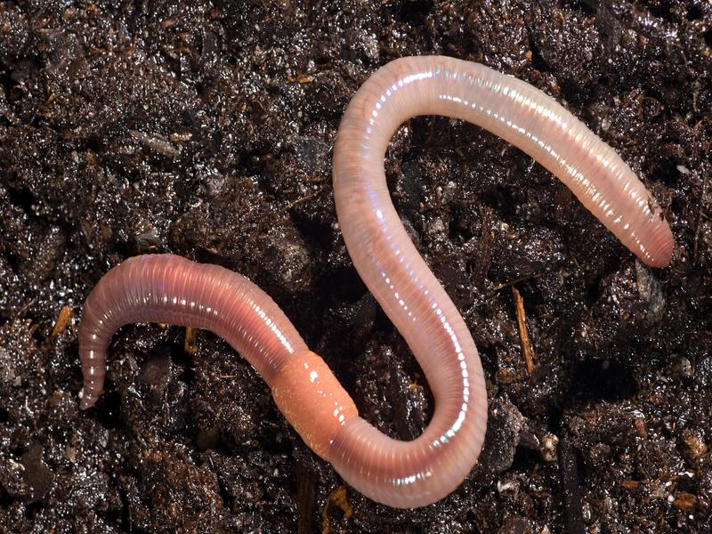 The earthworm way … blind.