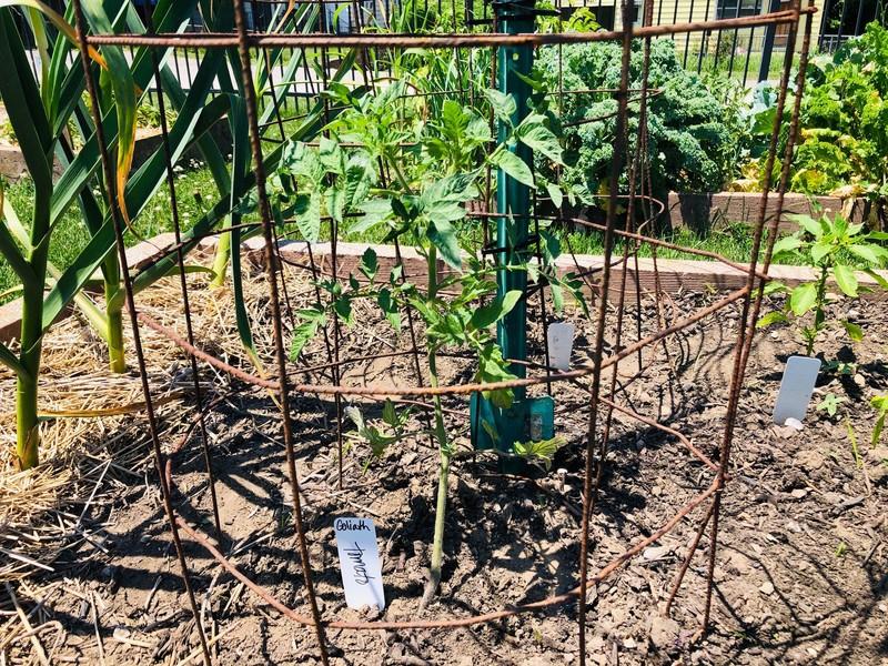 tomato_cage_header_800x600