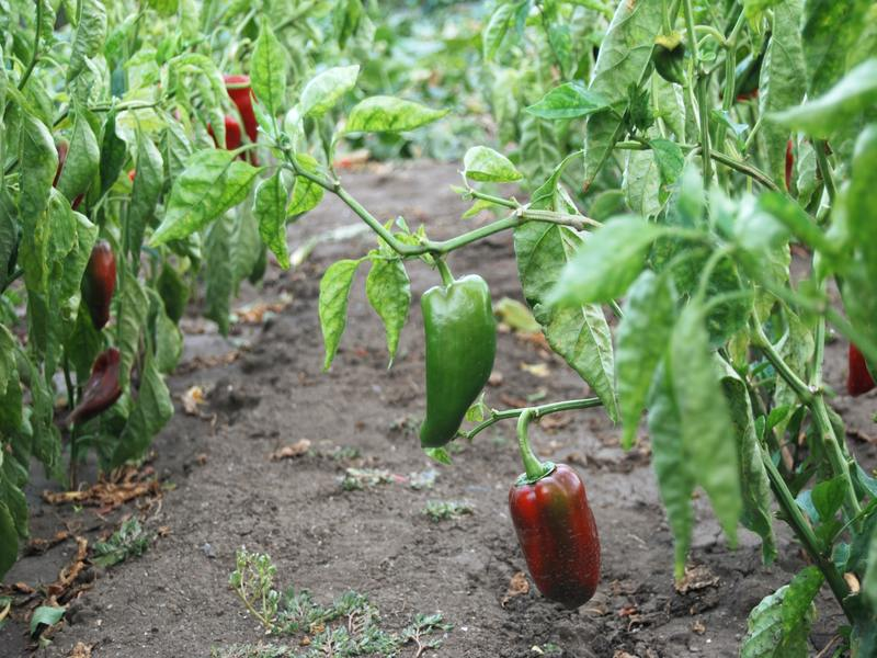 peppers_growing__800x600