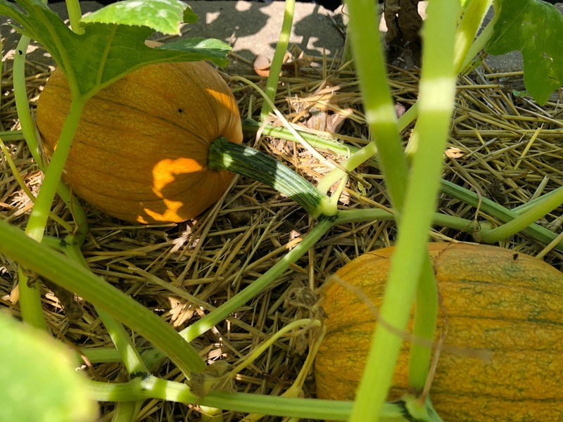 pumpkin_blog_feature_800x600