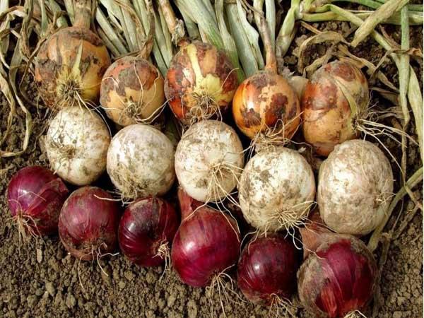 Onion-Variety