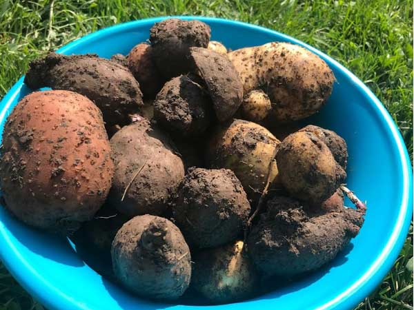 Potato-Harvest1