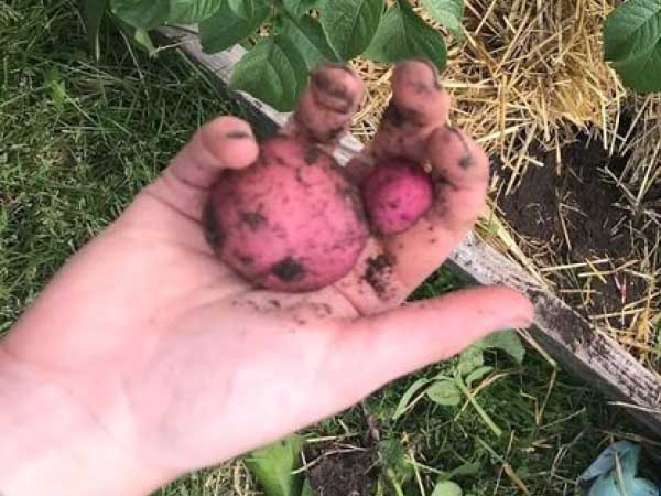 Potato-Harvest2