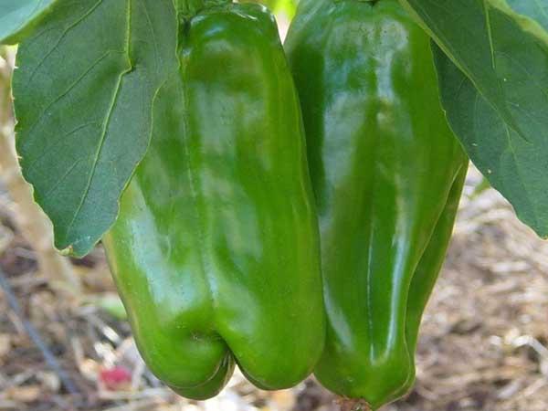 Anaheim-Pepper