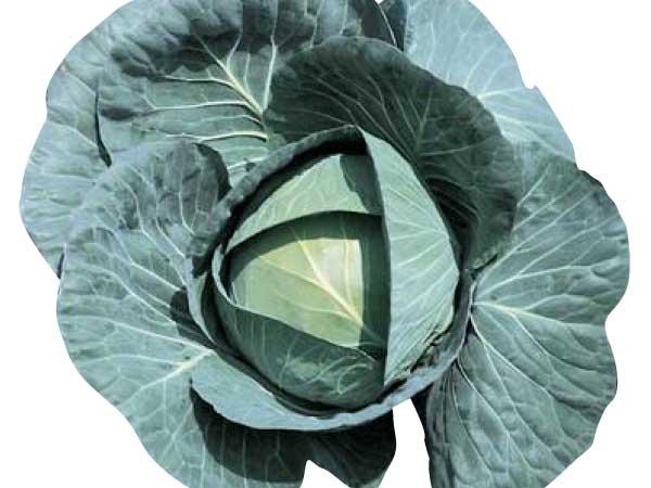 Cabbage-Bravo