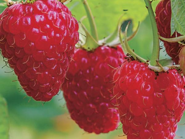 Caroline-Fall-Bearing-Red-Raspberry