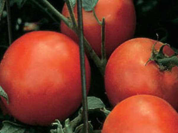 Celebrity-Tomato