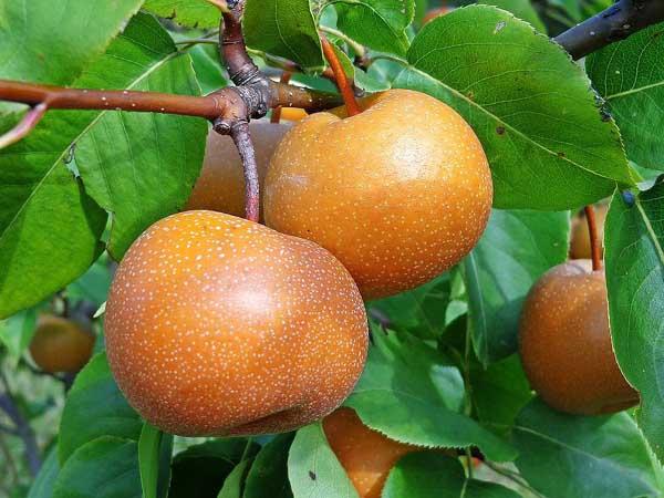 Chojuro-Asian-Pear