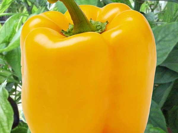 Early-Sunsation-Bell-Pepper