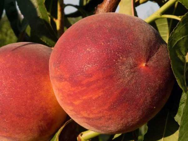 Harrow-Diamond-Peach