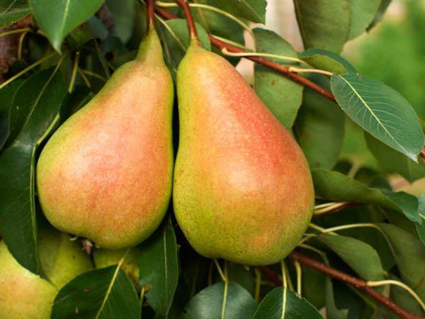 Harrow-Sweet-Pear