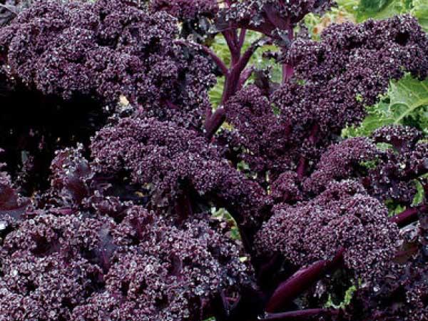 Kale-Redbor