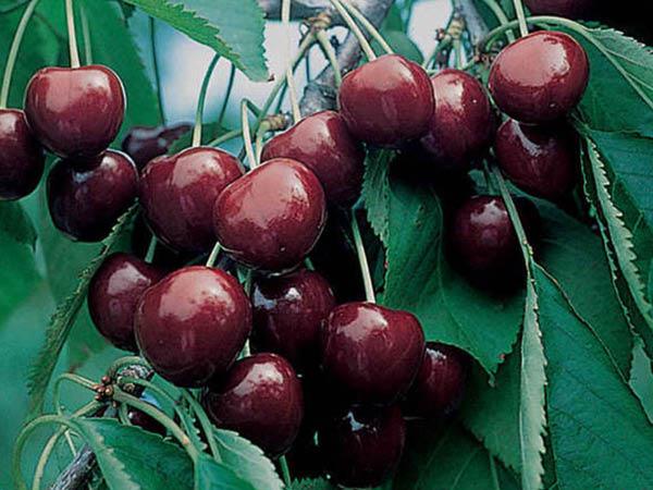 Montmorency-Cherry