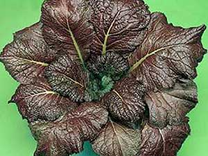 Red-Giant-Mustard