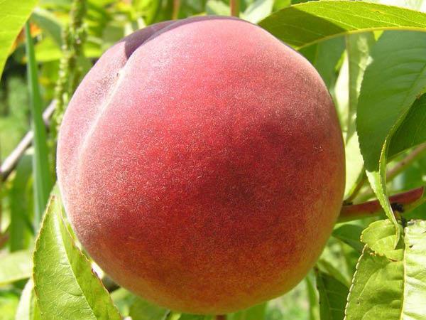 Redhaven-Peach