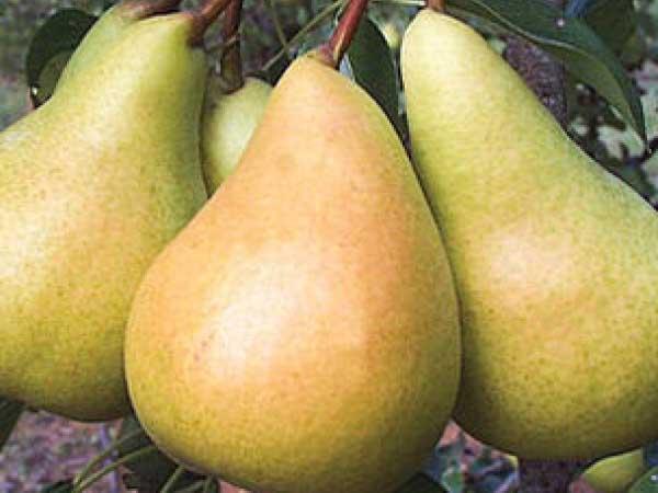 Sunrise-Pear