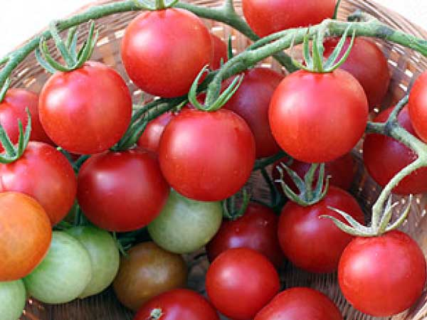 Sweet-Chelsea-Tomato