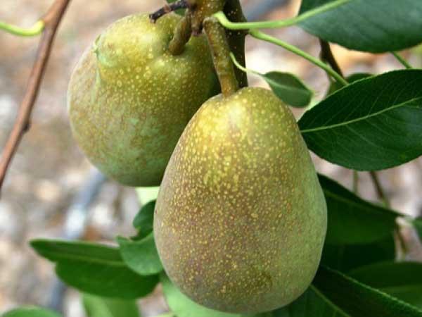 Warren-Pear