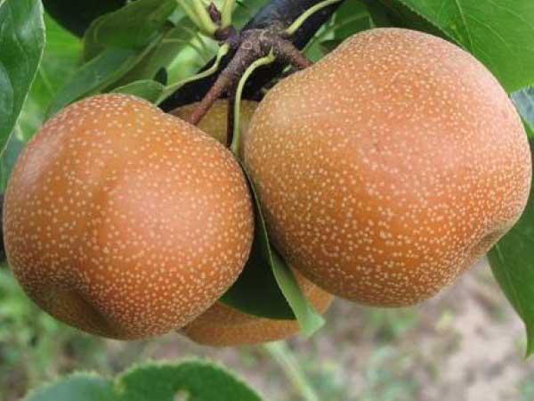 Yoinashi-Asian-Pear