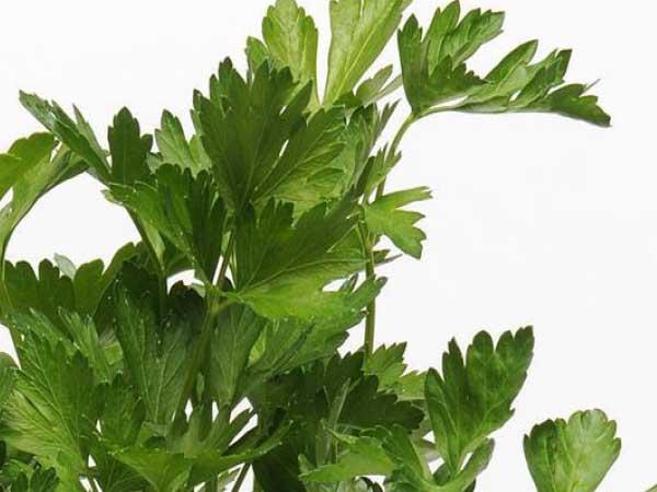 flat-leaf-parsley