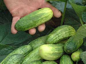 national-pickling