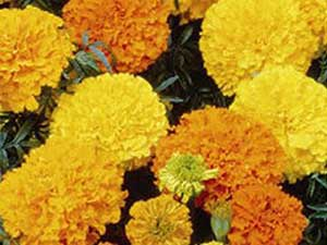 marigold-crackerjack