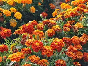 marigold-sparky
