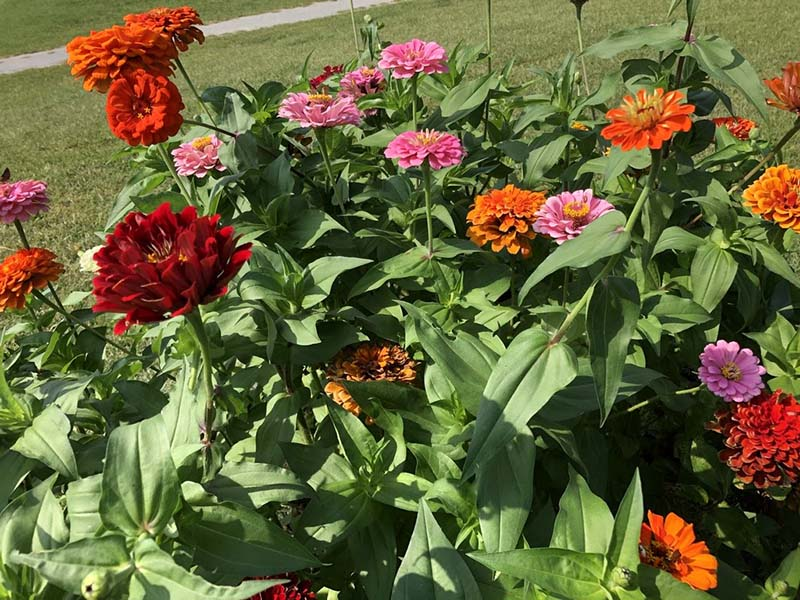 Zinnia (title picture)_WP